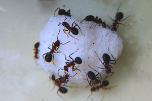 Sugar Ant Exterminator University Gardens New York